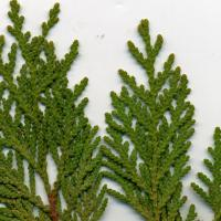 Cedar Twig